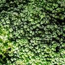 broccoli macro