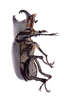 giant scarab rhino beetle