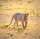 lion, amboseli, kenya