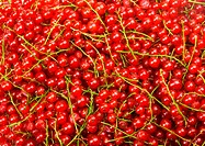Natural background: berries of a red currant