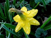 Narcissus flower with dew