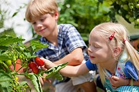 Germany, Bavaria, Boy and girl picking tomatoes in garden (thumbnail)