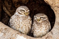 India, Madhya Pradesh, Spotted owlets in tree hole at Kanha National Park