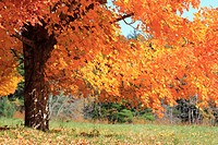 a sugar maple tree in autumn color