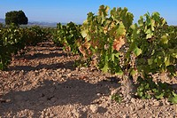 Montilla, Pedro Ximenez wine grapes, Montilla-Moriles area, Bodegas Cabriñana, Cordoba province, Andalusia, Spain.