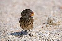 Medium Ground Finch, Genovesa Island, Galapagos Islands, Ecuador / Geospiza fortis / finches