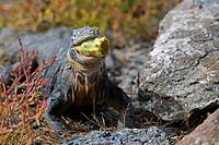 Galapagos Land Iguana eating Opuntia, Plaza Sur Island, Galapagos Islands, Ecuador / Conolophus subcristatus, Opuntia echios