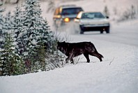 A large black wolf crosses in front of some traffic on a rural snow covered road.