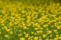 A large field of buttercups.