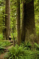 A woman stands in the largest Sitka spruce groves left in the world.
