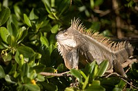 An invasive iguana resting in a bush.