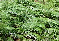 Forest ferns in the Black Forest, Baden Baden