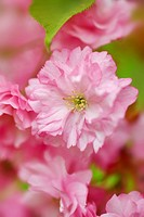 Cherry tree blossom Prunus