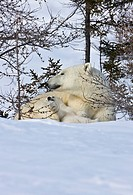 Mother polar bear with cub on the tundra, Wapusk National Park, Manitoba, Canada