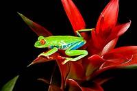 Red Eye Treefrog, Agalychnis callidryas, Native to Central America