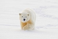 A yearling polar bear cub plays in the snow on the edge of the Beaufort Sea, in ANWR, Northern Alaska.
