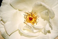 White Rose close_up