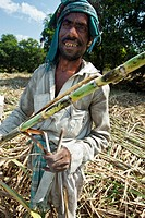 Farm laborers cut sugar cane Gujarat India