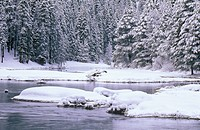 Stream and Pine Trees in Snow, Lake Tahoe, California