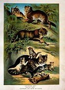 Chinese Cat, Malay Cat and Common Cat with Kittens, Johnson's Household Book of Nature, Chromolithograph, Circa 1880