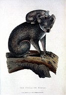 Koala Bear, Hand_Colored Engraving, Circa 1824