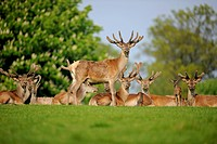 Red Deer (Cervus elaphus) in velvet, captive, Lower Saxony, Germany, Europe, PublicGround