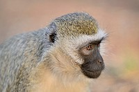 Vervet monkey Chlorocebus pygerythrus around Lodge in Amboseli National Park, Kenya