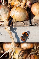 Garden Butterfly, Red Admiral Vanessa atalanta basking on onion-drying frame