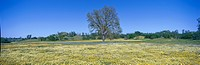 Panoramic view of spring flowers and large single tree off Route 58 on Shell Creek Road west of Bakersfield, California