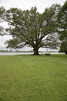 350 year old Willow_Oak of Shirley Plantation on the James River, Virginias First Plantation founded in 1613 and Americas first home_based business, f...