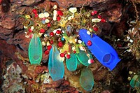 a group of bright and colourful sea squirts, tunicates, or ascidians  Tulamben, Bali, Indonesia  Bali Sea, Indian Ocean