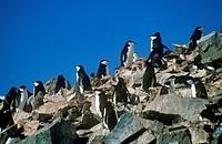 Chinstrap penguins Pygoscelis antarctica on Half Moon Island, Bransfield Strait, Antarctica