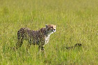 Cheetah stalking through high grasslands of Masai Mara near Little Governors camp in Kenya, Africa