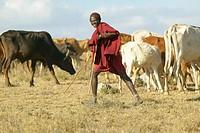 Masai herdsman minding his cattle near Nairobi National Park in Kenya, Africa