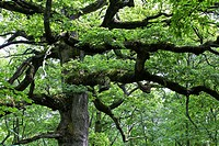 hindrés oak or oak of the Druids, 400 years and 5 m circumference, forest brocéliande, Brittany, France