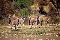 a group of eland at daan viljoen game park namibia