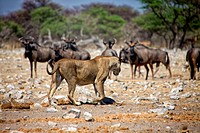 a lioness in front of wildebeest at etosha national park namibia