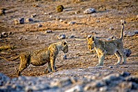 two lions cub playing in etosha national park namibia