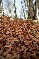 beech forest in winter  Gorriti  Navarra  Basque Country  Spain