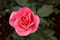 Jackbow- Rose flower in Ooty garden, Tamil Nadu, India The government rose garden is the largest rose garden in India It is situated on the slopes of ...