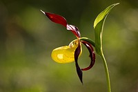 Orquidea endangered due to collection escesiva, in Spain can only be found in the priineo Aragones and the Pyrenees Lerida