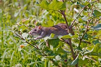 Brown Norway rat