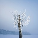 Birch tree in winter landscape