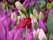 Tulips buckets at Farmers Market