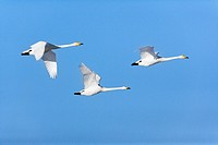Migrating Whopper swanes