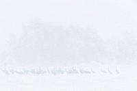 Cranes Grus grus on snow covered field, Niedersachsen, Germany / Kraniche Grus grus auf verschneitem Feld, Niedersachsen, Deutschland