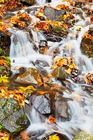 Wahkeena creek flowing over autumn coloured leaves in columbia river gorge national scenic area, oregon, united states of america