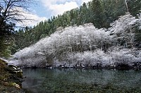 Snow covered trees lining the smith river during a northern california winter, crescent city, california, united states of america