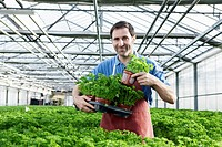 Germany, Bavaria, Munich, Mature man in greenhouse with parsley plants