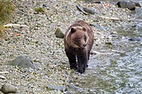 USA, Alaska,Brown bear walking at Chilkoot Lake